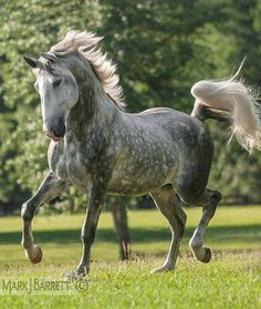 8616-711.jpg :: Four year old Lucitano stallion.