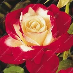 Rose Seeds Double Delight Hybrid Tea Rose Bonsai Flower Seeds Beautiful Perennial Rose Petals For Home Garden Plant Exotic Flowers, Pretty Flowers, Flowers Nature, Flower Seeds, Flower Pots, Orchid Seeds, Double Delight Rose, Garden Wallpaper