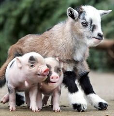 What could be cuter than a pair of newborn piglets just hanging with their pal, a miniature goat?