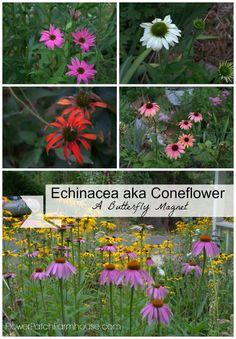 Purple Coneflower or Echinacea, Butterflies love this one