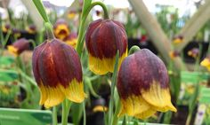 I don't normally like #fritillaries but these ones stood out #tw