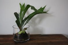 staghorn fern. I tried to grow one of these. It didn't survive :(.