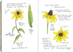 Sketching in Nature: Black-eyed Susan ~ Elizabeth Smith