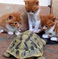 cats ♥ meet new friend turtle. Some actually did live together for several years at my son's home with wife and children