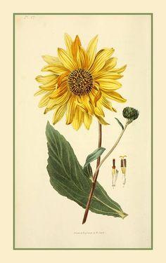 Girassol – Helianthus   Helianthus é um género botânico pertencente à família Asteraceae.  Todas são nativas da América do Norte, com a exceção de três espécies nativas da América do Sul. Entretanto, as espécies Helianthus annuus (girassol) e Helianthus tuberosus (tupinambo) são cultivadas na Europa e em outras partes do mundo.  http://sergiozeiger.tumblr.com/post/117078168683/girassol-helianthus-helianthus-e-um-genero  As plantas deste gênero crescem de 60 cm a 4 m de altura. As folhas são…