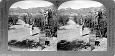 A stereographic view of workers harvesting olives in Sylmar, circa 1910. The verso of the images gives a detailed description about olive harvesting. West Valley Museum. San Fernando Valley History Digital Library.