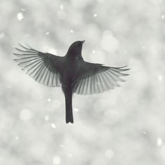 Junco in flight 3 - Dark eyed Junco flying in Snow Winter first snow nursery art decor christmas gift idea black and white photography