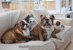 """Visit our website for more details on """"Bulldog Puppies"""". It is an outstanding spot to read more. Bulldog Puppies For Sale, English Bulldog Puppies, British Bulldog, Puppies And Kitties, French Bulldog, Doggies, Labrador Golden, Bull Dog Ingles, Cute Bulldogs"""