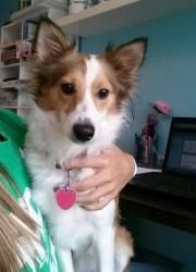 Lunaloo is an adoptable Shetland Sheepdog Sheltie Dog in Baltimore, MD. Luna is a 1.3 yr old Sheltie/Chihuahua mix. She was recently surrendered toa localanimal shelter. Her previous owner said she'...