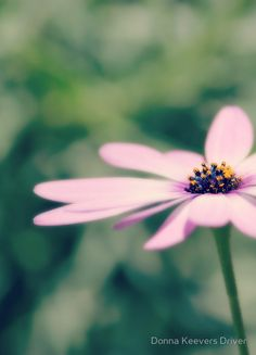 '~ Softly ~' by Donna Keevers Driver Cosmos, Bliss, How To Remove, Nature, Flowers, Plants, Beauty, Naturaleza, Plant