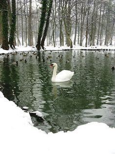 Winter Swan Lake - snow surrounded cold waters with peaceful birds of a different feather: graceful swimming Swan and ducks. Love Winter pin via Cora Lee Robinson. Winter Szenen, Winter Magic, Winter Colors, Winter White, Beautiful Swan, Beautiful Birds, All Nature, Winter Beauty, Swan Lake