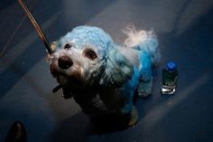 NY Screenwriters punches poodle in the head. #examinercom