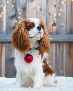 "463 Likes, 24 Comments - Rhett Muttler The Cavalier (@rhettmuttler) on Instagram: ""Merry Christmas!! I think I hear Santa coming! 🎄🔴. . . . . #rhettmuttler #cav #cavs #cavpup…"""