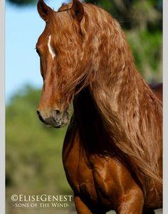 Beauty chestnut horse .