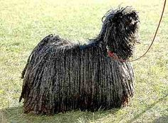 The Puli - A sheep herder and flock guardian, family pet and protector. Needs socialization and obedience training. Big Dogs, Small Dogs, Cute Dogs, Dogs And Puppies, Dog Lover Gifts, Dog Lovers, Puli Dog, Komondor, Herding Dogs