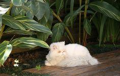 Os banhos de sol do gato persa Bartolomeu nunca mais foram os mesmos depois da concepção do jardim para o bichano. Mesmo sem ter o perfil de animal de área externa, o gato passeia muito mais pelo jardim depois que as paisagistas Claudia Diamant e Marina Domingues incluíram um deque elevado com vegetação.