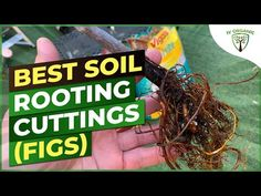 (1810) How To Root (FIG) Cuttings   BEST SOIL - YouTube Organic Plants, Organic Gardening, Gardening Tips, Growing Fig Trees, Growing Plants, Grafting Fruit Trees, Compost Tea, Garden On A Hill, Harvest Time