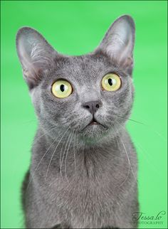 Korat Cat. The only cat with a heart shaped head and they have the largest appearing eyes due to an extra large slit by their eyelid.