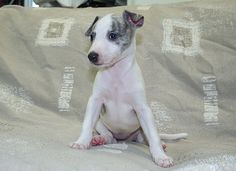 BABY WHIPPET...Awww looks like Archie's puppy pic with attitude. he's now 11