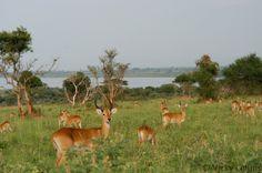 Ugandan Kob Near Lake Albert Murchison Falls National Park Uganda