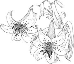 Lily 5 coloring page - Free Printable Coloring Pages Free Printable Coloring Pages, Coloring Book Pages, Coloring Sheets, Lilies Drawing, Printable Crafts, Printables, Flower Art, Cactus Flower, Embroidery Patterns