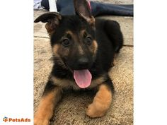 Top Quality German Shepherd Puppies These AKC German Shepherd puppies come from a world champion bloodline with IMPORTED parents! They are raised with outstanding care from day ...