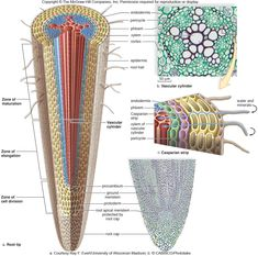 Xylem and phloem Biology Revision, A Level Biology, Ap Biology, Science Biology, Teaching Science, Science For Kids, Life Science, Science And Nature, Teaching Plants