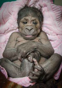 On Saturday, Aug. 16, the Oklahoma City Zoo and Botanical Garden welcomed a new arrival to their family — a female western lowland gorilla. | So This Is What A Brand-New Baby Gorilla Looks Like
