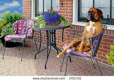 stock photo : funny aristocratic looking dog on a terrace chair