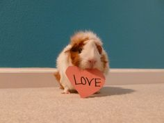 My guinea pig, Marshmallow, on Valentine's day