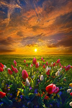 ~~Drawing Near To Me | tulips at sunrise by Phil Koch~~