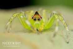 Freshly moulted Jumping Spider.  Macro Photographs of Singapore's Most Unusual Insects and Arachnids by Nicky Bay.