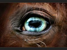 Gorgeous blue eyed horse. Just the pretty eye up close. The horse looks so kind.