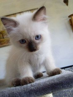 Purrsome Cat Breeds That Behave Like Dogs - The CATDOGS siamese kitten. I want one so badly - Spoil your kitty at siamese kitten. I want one so badly - Spoil your kitty at Cute Baby Cats, Cute Little Animals, Cute Cats And Kittens, Kittens Cutest, White Kittens, Funny Kittens, Black Cats, Kittens Playing, Cool Cat Trees