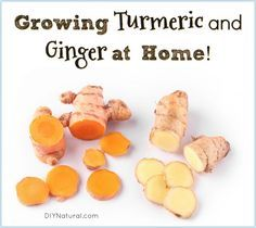 Growing Turmeric and Growing Ginger: Growing Healthy Roots at Home! Growing turmeric and growing ginger is easy. You can have your own constant supply of these beneficial herbal roots so stop buying them and start growing! Grow Turmeric, Tumeric And Ginger, Ginger Plant, Growing Herbs, Growing Vegetables, Growing Ginger Indoors, Growing Mushrooms Indoors, Regrow Vegetables, Types Of Herbs