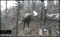 Hope this Moose had rammed this hunter real good & retreat far away out of danger.
