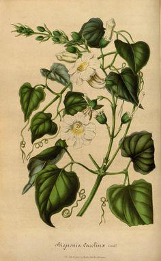 Bignonia carolinæ