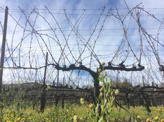 The actual vines in Napa valley California. They need the help from the mustard flowers to draw the bees to help the wine making process