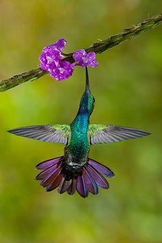 Green-breasted Mango hummingbird, Cost Rica by Jim Zuckerman