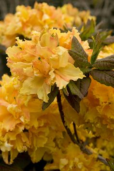Cheerful Giant Azalea - Monrovia - Hardy selection which provides a massive display of golden yellow double blooms with an orange blotch. Mounding form is excellent for massing in shrub borders. Types Of Flowers, All Flowers, Exotic Flowers, Orange Flowers, Amazing Flowers, Beautiful Flowers, Garden Shrubs, Shade Garden, Azaleas Landscaping