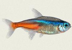 Many types of Tetras are available at Kellyville Pets! Tetra Fish, Neon Tetra, Koi Fish Pond, Fish Ponds, Colorful Fish, Tropical Fish, Freshwater Aquarium, Aquarium Fish, Fish Artwork