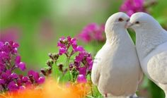 Two Loving White Doves And Beautiful Purple Flowers Royalty Free Stock Photo, Pictures, Images And Stock Photography. Image 14239986.