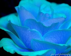 Periwinkle and Turquoise Rose. I have a feeling this isn't real, but it's still pretty!