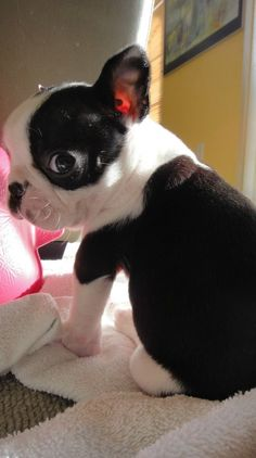 Boston Terrier - this adorable pic makes me want to get another one. Best dogs in the world.