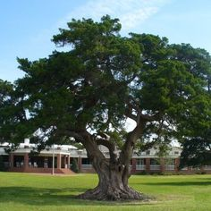 drzewo inspiracja na bonsai fot. David Harrington CC BY-SA 2.0 Flickr