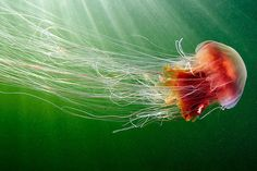 Cyanea capillata and The Fish | by Alexander Semenov