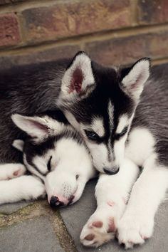 Husky puppy pair Photo by Images by Christina Kilgour on Getty Images.... #Relax more with healing sounds: