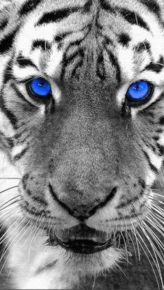Bea-uti-ful blue eyed white tiger