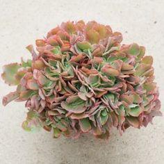 Echeveria crenulata x carnicolor form. cristata. Rustique à -4°