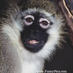 This is huge collection of monkey pictures which are really funny to watch. Funny Monkey Pictures, Clip Free, Funny Video Clips, Monkey Business, Picture Collection, Funny Monkeys, Exotic, Primates, Cute